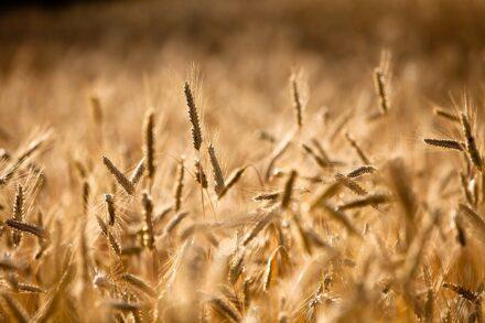 Trotnerhof biologischer Anbau Getreide Urlaub auf dem Bauernhof Ritten Oberbozen Südtriol