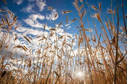 Trotnerhof Ritten Oberbozen Korn biologischer Anbau Urlaub auf dem Bauernhof