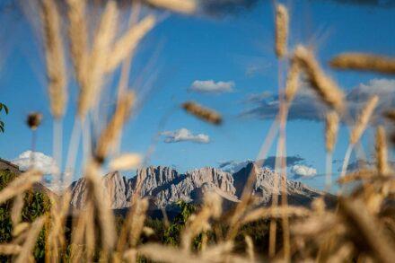 Trotnerhof Urlaub Bauernhof Ritten Oberbozen Südtirol biologischer Anbau Bio Getreide Korn Tradition