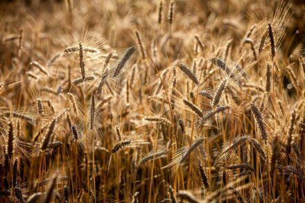 Trotnerhof Urlaub auf dem Bauernhof Ritten Oberbozen Südtirol biologisch Anbau Korn Getreide