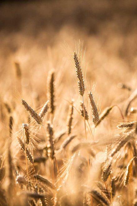 Trotnerhof Getreide Korn biologisch Anbau Urlaub auf dem Bauernhof Bäckerei Ritten Oberbozen Südtirol